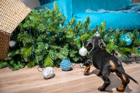 Naughty curious dachshund puppy played too much and filled up artificial Christmas tree decorated with garland and festive balls. Baby dog carefully sniffs crime scene.