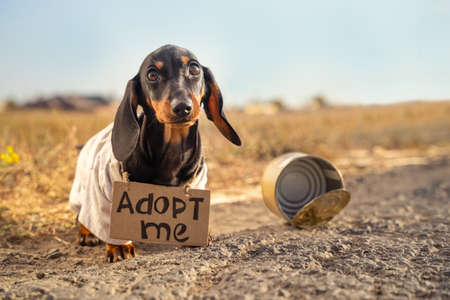 Poor dachshund puppy in dirty old t-shirt with cardboard sign around neck that says adoption sits on street, empty tin can nearby, blurred background.