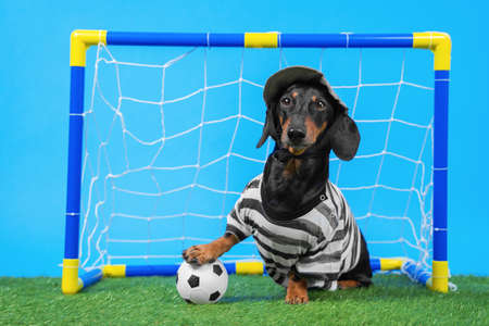 Active dachshund dog in goalkeeper uniform and cap successfully protects football gate for kids, soccer ball flies inside scoring goal on green artificial grass, blue background.