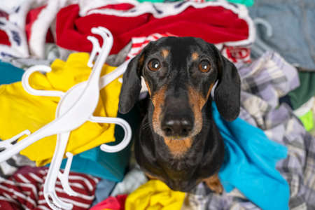 Funny dachshund dog sorts clothes and tries to choose what to wear, sits and looks wearily at the camera, top view. Gathering of stuff for moving or for charity.