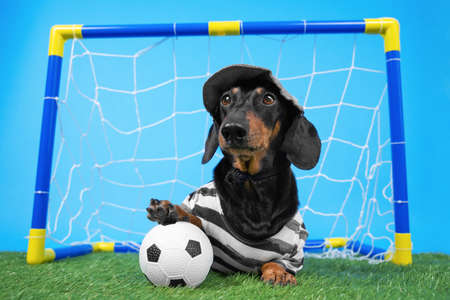 Dachshund in goalkeeper uniform and cap successfully protects football gate on green artificial grass. Put his paw on a soccer ball.