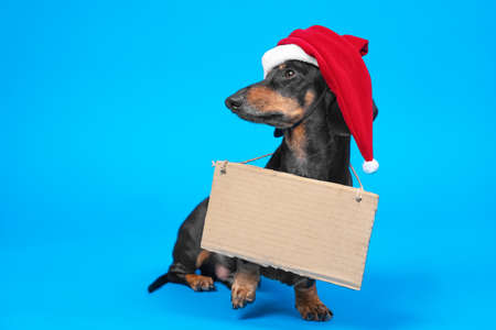 Funny dachshund dog wearing Santa red and white hat, standing on blue background in studio with empty cardboard table on neck. Copy space for any text of New Year concept.