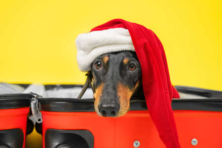 Cute sad dachshund in Santa costume and hat is lying in empty open suitcase, packed for Christmas vacation, so that owners do not leave dog alone at home, close up. Closing borders and lockdown.