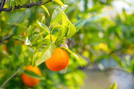 Juicy orange sweet tangerines hang on tree branch with green leaves and ripen in garden on warm sunny day, close up, blurred background. Agricultural concept.