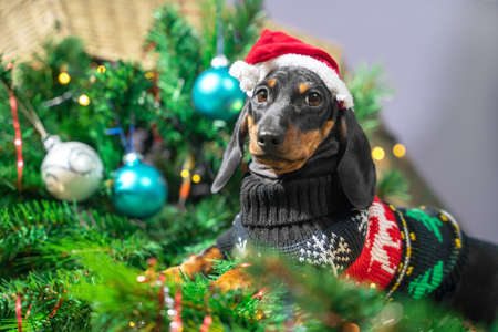 portrait mess dog dachshund in a sweater and a santa cap played too much and filled up artificial Christmas tree decorated with garland.