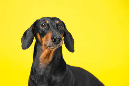 portrait of a adorable Dachshund dog, black and tan, on a trended colorful yellow background.
