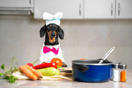 Funny cute dachshund dog, in a cap and a suit of the chef, and a pink bow tie in the kitchen among vegetables and various cookware looks closely at the camera