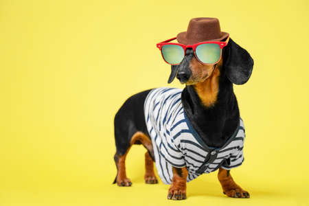 Funny little dachshund wearing stripped vest, sunglasses and brown hat standing on bright yellow illuminating background. Humor concept of traveler, or owner liking to dress their dog. Imagens