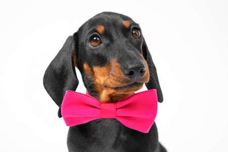 Cute dachshund puppy in an elegant pink bow tie, looks up expressively, on a white background.
