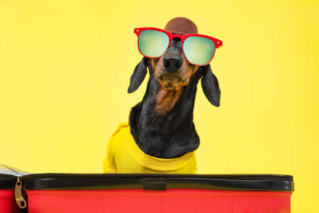 Funny dachshund dog in summer t-shirt, sunglasses, hat gathers things for vacation on trip, sit in open suitcase on a yellow background. Travel concept with pet. Open of borders between countries. Imagens