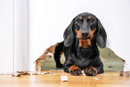 Mess and naughty dachshund puppy was locked in room alone and chewed hole in door to get out. Poorly behaved pets spoil furniture and make mess in apartment.