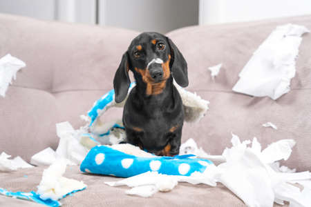 Mess dachshund puppy was left at home alone, started making a mess. Pet tore up furniture and chews home slipper of owner. Baby dog is sitting in the middle of chaos, gnawed clothes, looks piteously.