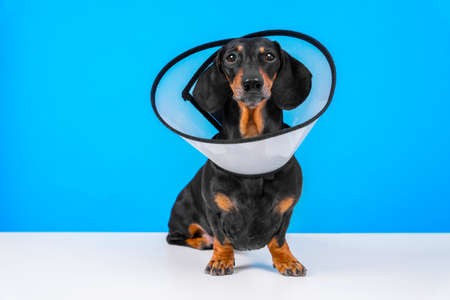 dachshund dog wearing in rehabilitation standing on a blue background at home or hospital room after treatment with surgery recovery collar around neck to prevent wound from licking. Stock Photo