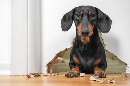 portrait of a cute dog dachshund piteously looks at the owner having done a mess in the house, gnawed through furniture and a hole in the door. not educated domestic pet. Standard-Bild