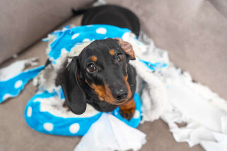 Naughty dachshund puppy was left at home alone and started making a mess. Pet tore up furniture and chews home slipper of owner. Baby dog is sitting in the middle of chaos and looks up piteously