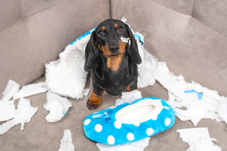 Mess dachshund puppy was left at home alone and started making a mess. Pet tore up furniture and chews home slipper of owner. Baby dog is sitting in the middle of chaos and looks up piteously