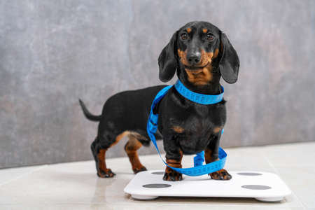 Cute hungry dachshund puppy wants good shape so follows diet and leads active lifestyle. Dog is wrapped in centimeter and stands on scales to make measurements before fitness marathon and smiles.
