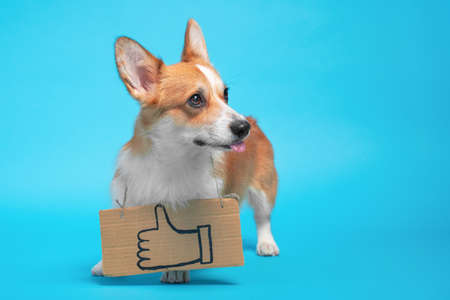 Funny welsh corgi pembroke dog shows tongue playfully wearing cardboard sign hanging around its neck with painted symbol of raised thumb up, blue background, copy space.