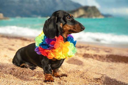 Cute dachshund puppy wearing artificial colored Hawaiian flower wreath around its neck sits on sandy beach by the sea. Travel to warm exotic country. Stock fotó