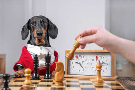 Dachshund dog in formal outfit with white shirt is playing chess with owner. Person holds chess piece about to make move. Competitions in intellectual games. Imagens