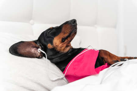 cute dachshund dog in pink pajamas wearing headphones listening and enjoys to music lying in bed at home, closing eyes.