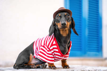 Cute traveler dachshund puppy in striped t-shirt and cowboy hat poses on street during tourist walk around the city, copy space for tour agency advertising.