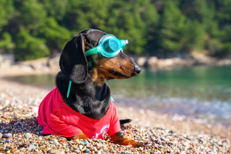 Funny dachshund dog in t-shirt and swimming glasses is sit on sandy beach. Sports and active lifestyle. Entertainment at resort during vacation. Stock fotó