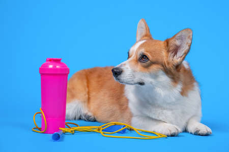 Tired welsh corgi Pembroke dog lies on blue background with equipment for training, copy space. Pet advertises sporty and healthy lifestyle.
