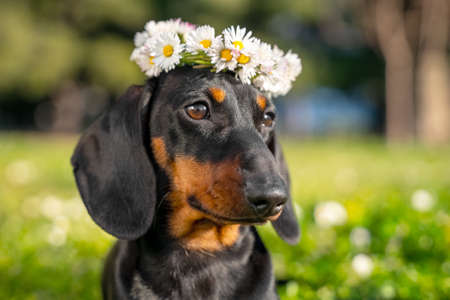 Portrait of lovely dachshund dog with beautiful flower wreath on its head in forest front view, blurred background copy space. Greeting postcard