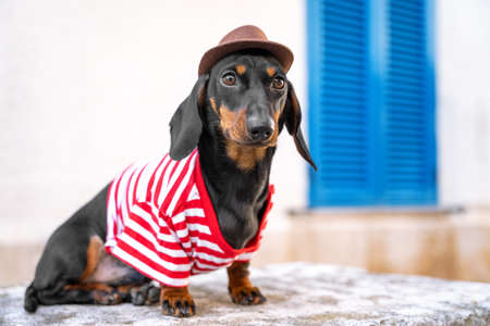 Funny traveler dachshund puppy in striped t-shirt and cowboy hat poses on street during tourist walk around the city, front view, copy space for tour agency advertising.