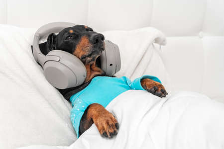 cute dachshund dog in blue pajamas wearing wireless headphones listening and enjoys to music lying in bed at home. Stock fotó