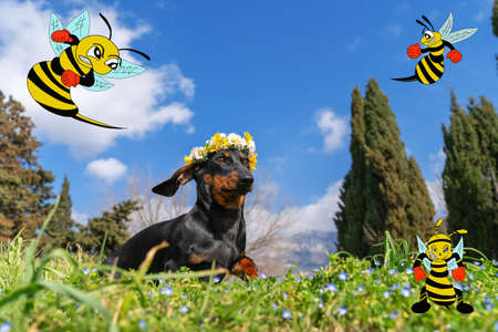 Lovely dachshund puppy with wreath of white daisies and yellow chrysanthemums on its head walks in meadow strewn with blue flowers among grass, cartoon wasps fly around, copy space. Imagens
