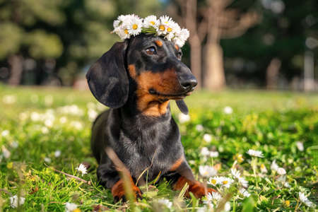portrait funny dachshund puppy with a wreath of white daisies on his head lies on a green meadow. Stock fotó