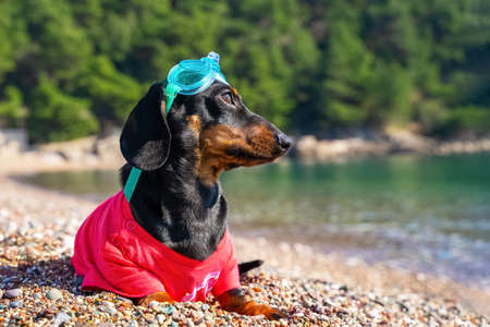 Cute dachshund puppy in t-shirt and in swimming glasses on head has had enough of diving, so is now lying on pebble beach, resting and sunbathing.