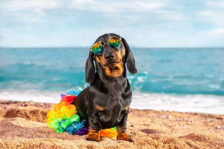 Funny dachshund puppy wearing polarized sunglasses and Hawaiian skirt made of colorful artificial flowers sits on sandy beach by the sea. Holiday in warm exotic country.