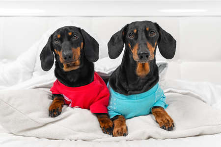 Two generations of funny dachshunds wearing colored t-shirts lie on pillow covered with warm blanket in white bedroom at home or in dog-friendly hotel, front view