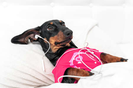 Cute dachshund puppy lies in bed like human with head on pillow and covered with blanket, and listens to music, podcast or bedtime story using wired headphones, copy space.
