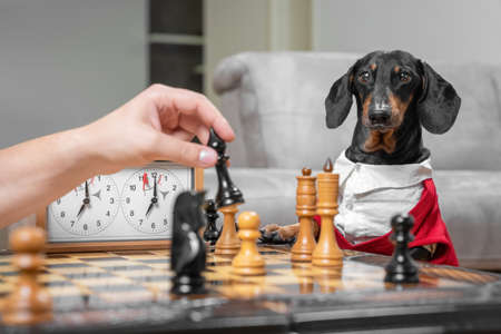 Dachshund dog in formal outfit with white shirt is playing chess with owner. Person holds chess piece about to make move. Competitions in intellectual games in home.