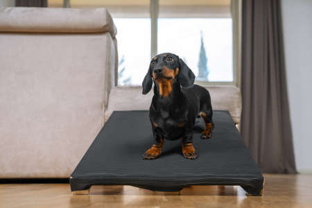 cute dachshund puppy, black and tan, stand on a special ramp for dog with long spine and short paws to prevent traumas at home. Safe of back health in a small pet.