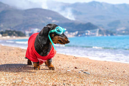 Funny dachshund dog in t-shirt and swimming glasses is standing on sandy beach and is going to dive. Sports and active lifestyle. Entertainment at resort during vacation.