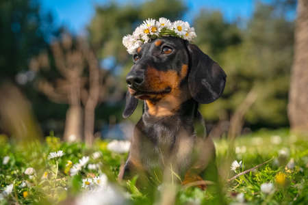 Happy dachshund puppy dog wearing wreath of daisies lies on green summer grass. Copy space for text. Imagens
