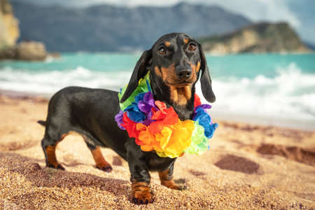 funny dachshund puppy wearing artificial colored Hawaiian flower wreath around its neck stand on sandy beach by the sea. Travel to warm exotic country. Stock fotó