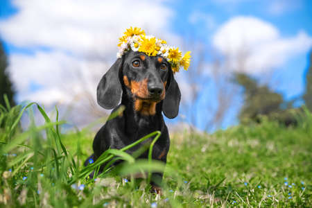 Portrait of cute dachshund puppy with beautiful white and yellow flower wreath on its head posing in meadow, front view, blurred background, copy space. Greeting postcard.