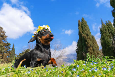 Happy dachshund puppy with wreath of white daisies and yellow chrysanthemums on its head runs through meadow strewn with blue flowers among grass, copy space. Imagens