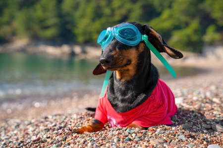 Funny dachshund puppy with diver goggles in pink clothes poses for camera on rocky sea beach on sunny summer day closeup. Imagens