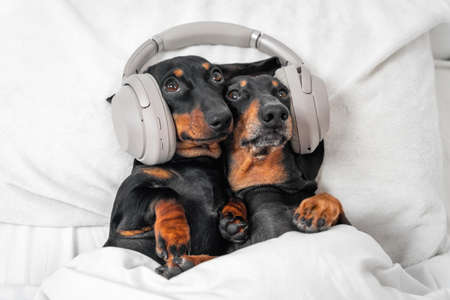 Two cute dachshunds lie in embrace on bed with their heads on pillow and listen to music, interesting podcast or bedtime story using modern wireless headphones, copy space.