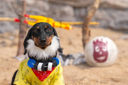 Funny dachshund puppy with thick beard and necklace of plastic caps around neck has long lived on desert island, having got there after the crash, close up. Humor about humanized pets.