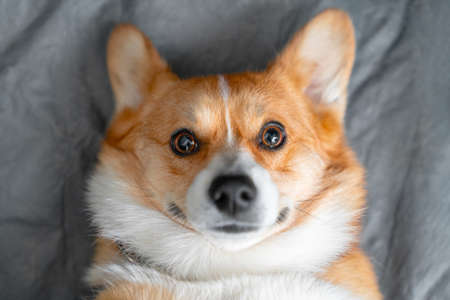 Portrait of lovely smiling Welsh corgi Pembroke or Cardigan dog obediently lying on gray sheet at home and looking ahead, top view, copy space for advertising Stock Photo