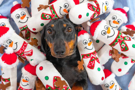 Portrait of lovely puppy lying in bed, toys in shape of snowmen scattered around and piled on pet, top view. Greedy obsessed dog has collected all its favorite toys and is guarding them. Stock Photo