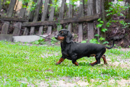 Lovely dachshund puppy with leash and collar gracefully runs through sparse grass, walking in yard.